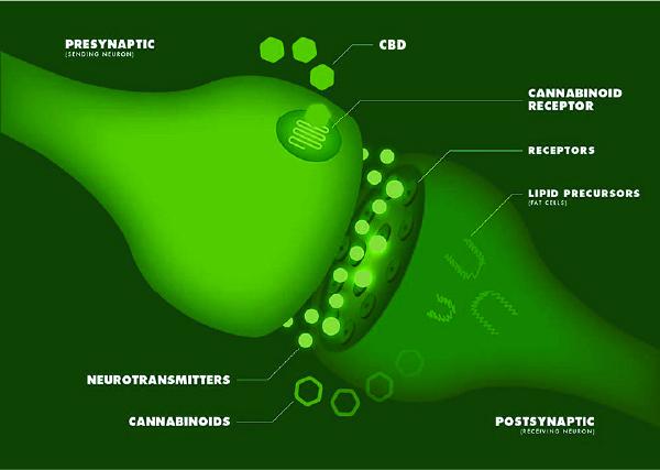 Your Endocannabinoid System (ECS) - SmartCBDmn.com